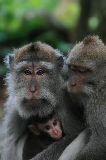 Die Verbreitung des Banyan geschieht durch den Kot der Affen
